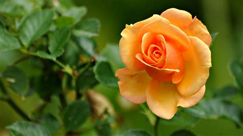 beautiful orange beautiful orange rose desktop wallpaper hd wallpapers