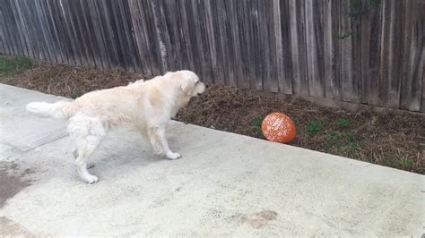 vicious golden retriever adorable golden retriever saves his family from a vicious balloon