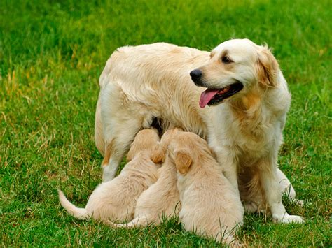 golden retriever weight range golden retriever trainer hong kong