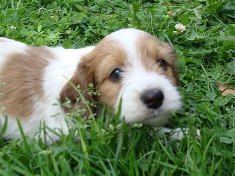 havanese mini havanese cross w miniature wirehaired dachshund i didn t think mini wires could get