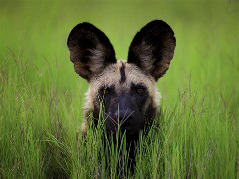 African Wild Dog - Wallpaper #43111