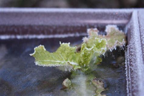 lettuce frost protection  frost damage lettuce plants