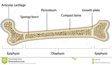 A Of Bones bone diagram human anatomy chart