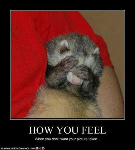 Ferret Meme - 229 best ferret images on pinterest ferrets funny