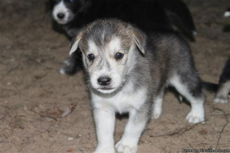 goberian puppies for sale near me goberian puppies price 250 in stanwood iowa cannonads