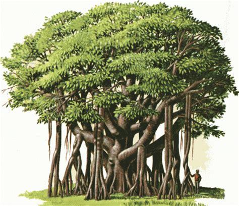 the banyan tree resonner s blog