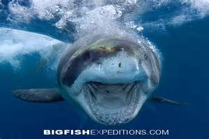 Download image big great white shark pc android iphone and ipad