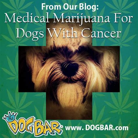 cannabis for dogs marijuana for dogs suffering from cancer the bar