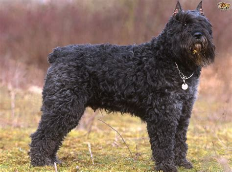 bouvier dogs bouvier des flandres breed information facts photos care pets4homes
