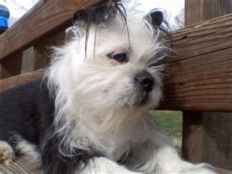 boston terrier shih tzu mix puppies for sale boston terrier shih tzu mix puppies