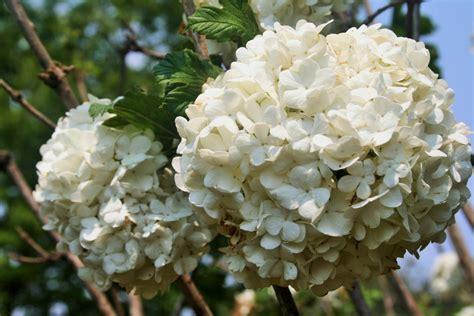 white hydrangea free stock photo public domain pictures