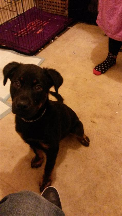rottweiler crate rottweiler puppy for sale with crate food stoke on trent staffordshire pets4homes