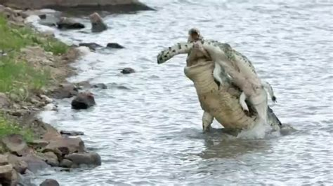hippo chasing fishing boat stork loses catch to hungry crocodile but keeps its head