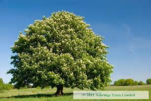horse chestnut trees for sale online aesculus hippocastanum