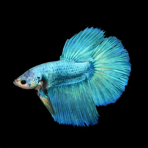 Encyclopedia Of Aquarium Pond Fish Dk Publishing Ebook E Book siamese fighting fish betta betta splendens fish guide