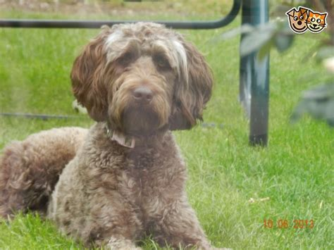 goldendoodle puppy wanted goldendoodle stud wanted in kent ramsgate kent
