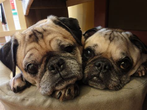 are pugs apartment dogs 11 best dogs for apartments in the city maltese