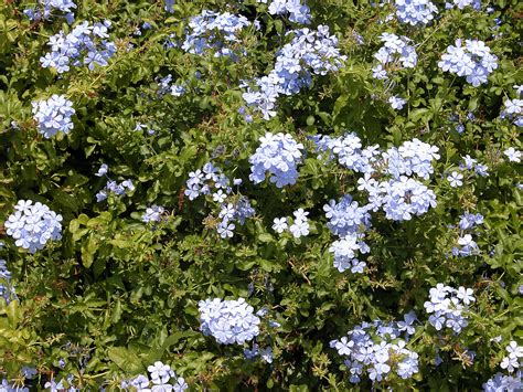 grow l for plants plumbago care where and how to grow a plumbago plant