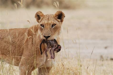 Lions Kill           Rare Sighting