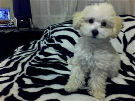 puppies for sale in harlingen tx miniature poodle puppies in