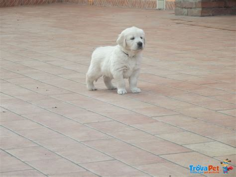 allevamento golden retriever pavia cuccioli di golden retriever in vendita a voghera pv