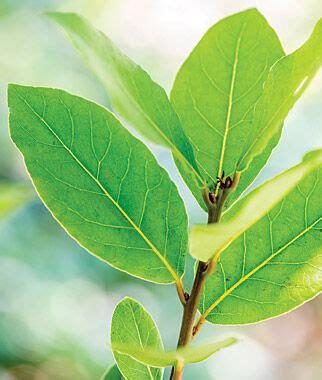 bay laurel herb plants  burpeecom