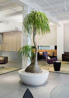 pony tail palm satori stylecom indoor plants plants