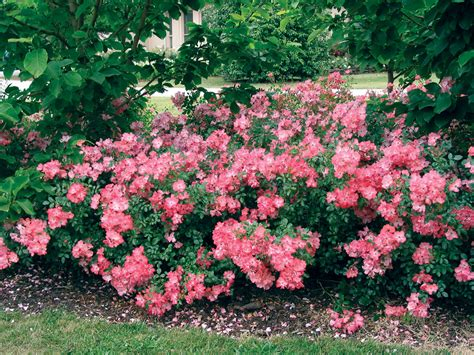 flower carpet roses state by state gardening