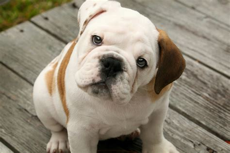 pictures of bulldog puppies cuccioli di bulldog inglese disponibilisplendidi cuccioli di bulldog quotes