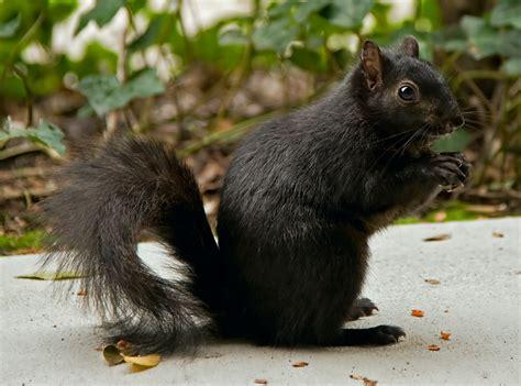 The Black Squirrel Winter Nature Boy Of Durham Black Squirrel