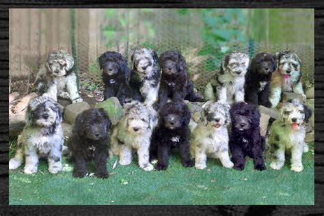 bergamasco puppies artos bergamascos puppies