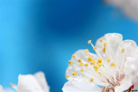 sfondi desktop fiori primavera sfondo con rami fioriti di alberi primavera fiore sfondo