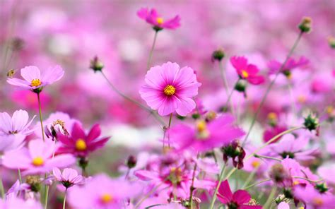 flower wallpapers colorful flowers wallpapers