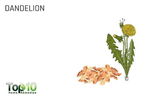 Side Effects Of Dandelion Root Detox by 10 Herbs That Detox Your Naturally Top 10 Home Remedies