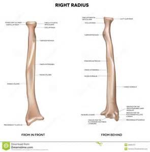 Radius Arm And Elbow Anatomy 5308 With Botterman At University