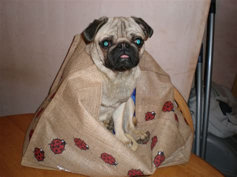 4 year pug 4 year pug for sale bradford west pets4homes