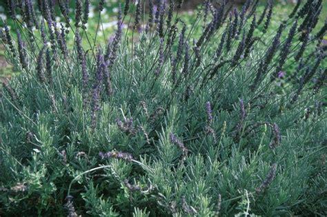 Lavender Creek lavandula goodwin creek grey