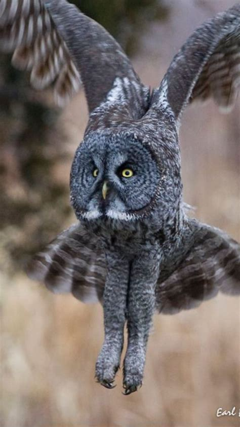 Gw Se F Green Owl de 286 b 228 sta bilder f 229 glar ugglor bilderna p 229