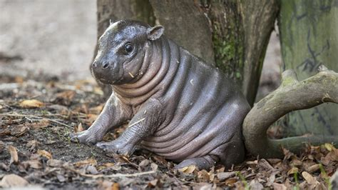 see why this adorable baby hippo has been nicknamed michelin man today com