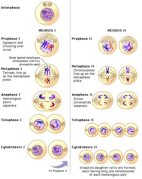 Genectics | Grade 11 Biology Meiosis Stages