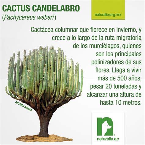 cactus candelabro cactus candelabro chile flora el norte de chile