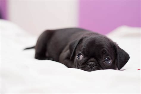 pug s baby black pugs wallpaper