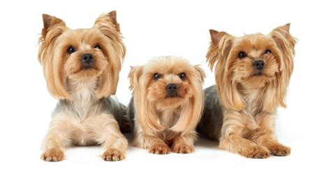 how often do yorkies best shoo for yorkies gentle options for coat and skin practical paw the toolkit