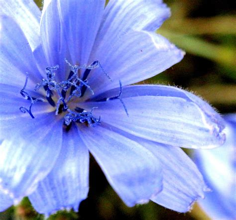names of blue flowers names of blue flowers names of