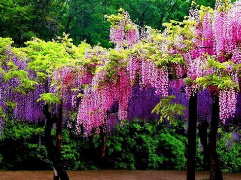 wisteria colors wisteria fall fall colors
