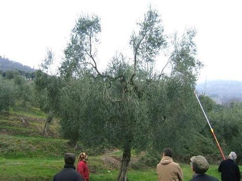 potatura olivo in vaso quando potare l ulivo potatura potatura olivo
