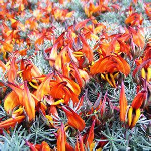 lotus red flash garden express