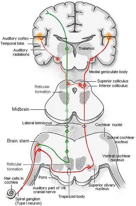 vestibulocochlear reflex central auditory pathways grad school pinterest school