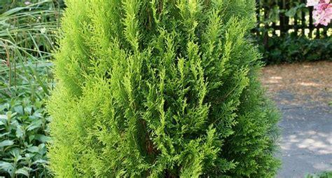 thuya occidentalis medicina integrativa thuya occidentalis alberi thuya occidentalis