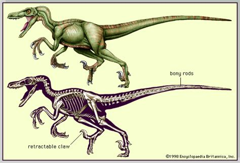 velociraptor skeleton and musculature dinosaur reference